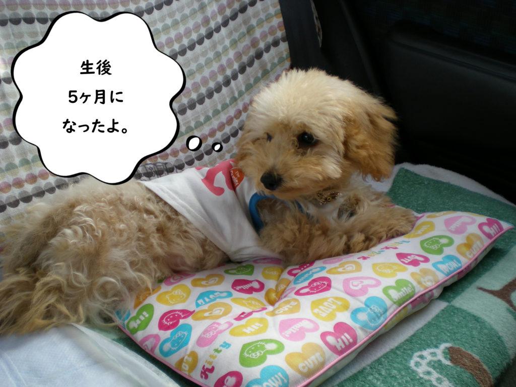 生後5か月になったよ。トイプードルの空。犬が失敗しないトイレ【100均材料でDIY】おススメの手作りトイレ3