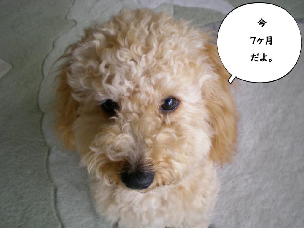 今7か月だよ。トイプードルの空。犬が失敗しないトイレ【100均材料でDIY】おススメの手作りトイレ4