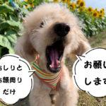 高齢犬のトリミング問題トイプードルの空