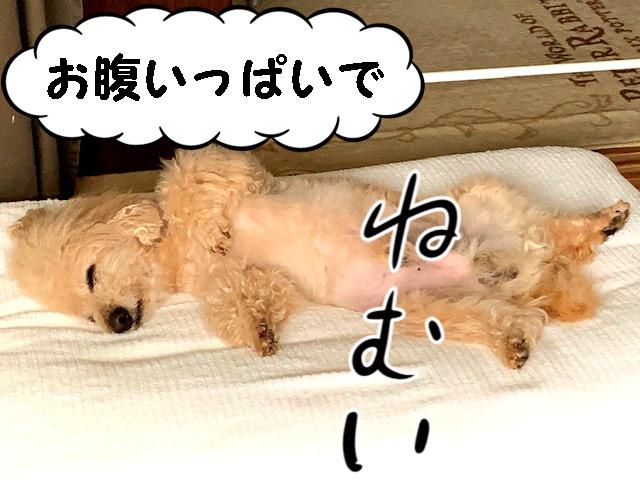 お腹いっぱいで眠い。トイプードルの空