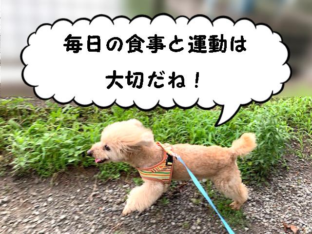 高齢犬のドッグフードの与え方について【トイプードルの空】