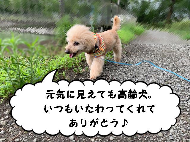 高齢犬の手づくりフード(トッピング)の与え方について【トイプードルの空】