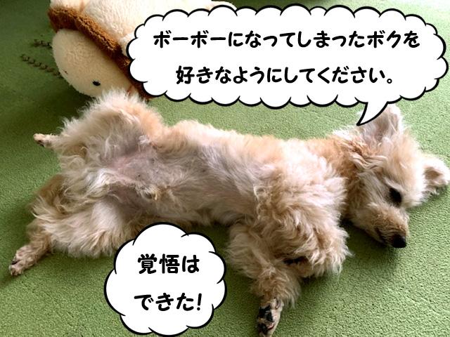 愛犬のセルフトリミング【トイプードルのカット】バリカンで簡単☆かわいい